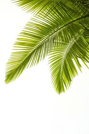 noix de coco: Plam laisse isol� sur le fond blanc
