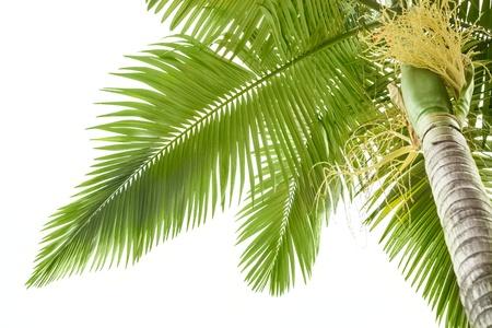 palm frond: Plam albero su sfondo bianco
