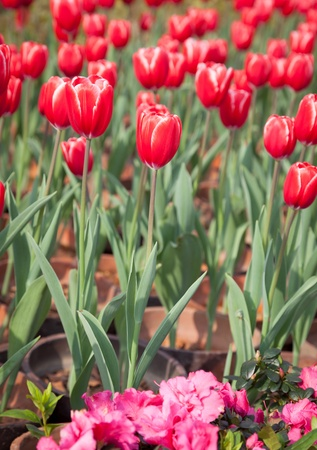 Potted red tulips field in garden Stock Photo - 15483577