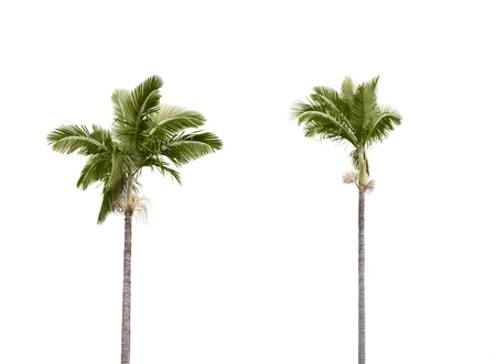 Two plam trees isolated on white background