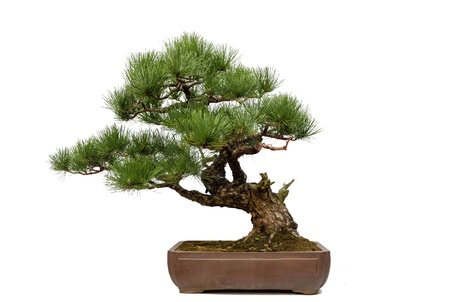 bonsai tree: A small bonsia tree in a ceramic pot  Isolated on a white background