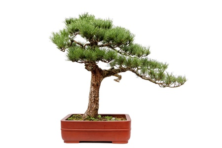 flower pot: A small bonsia tree in a ceramic pot,the style of tree is from the Chinese Most famous place of Huangshan Guest-Greeting Pine  Isolated on a white background  Stock Photo