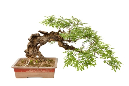 bonsai: A small bonsia tree in a ceramic pot  Cascade style,isolated on a white background