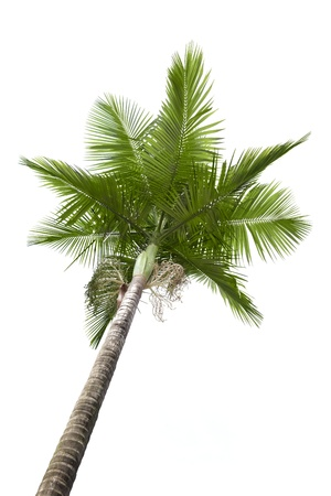 palmtree: Plam tree isolated on white background