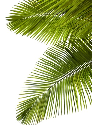 coconut tree: Leaves of palm tree  isolated on white background