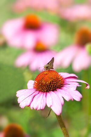 Butterfly on coneflower in garden photo