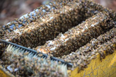 bee swarm: Opening bee hive in a beeyard