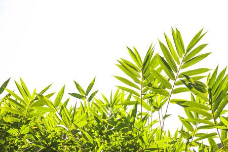 bamboo tree: Bamboo leaves on white background Stock Photo