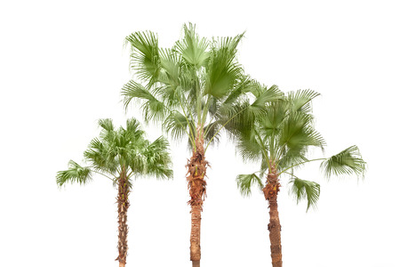 Palm trees  isolated on white background by the seaside photo