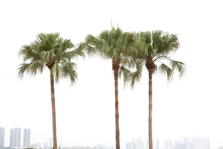 frond: Palm trees by a resident district on white background
