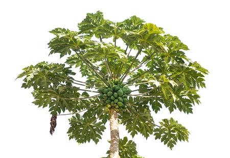 papaya tree: Fresh papaya tree with bunch of fruits isolated on white  Stock Photo