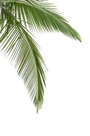 cycadaceae: Green coconut leaves isolated on the white background