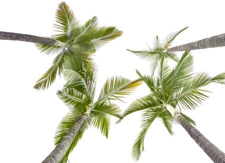 Plam alberi isolati su sfondo bianco