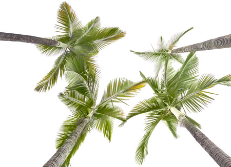 Plam trees isolated on the white background