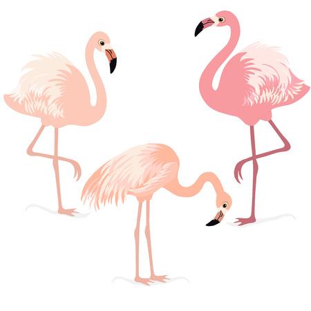 bird beaks: Three pink flamingos on white background