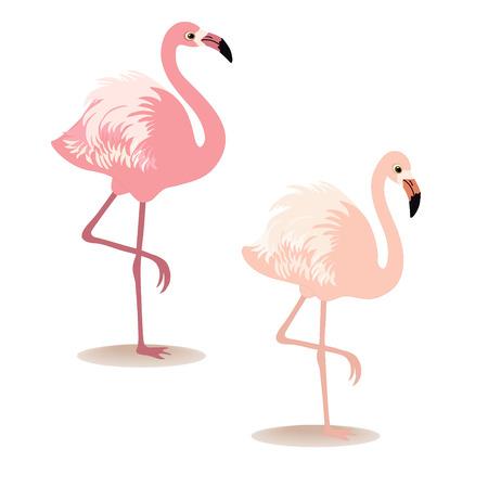 flamenco ave: Pareja de flamencos en el fondo blanco Vectores