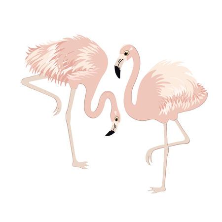 flamingi: Para różowe flamingi na białym tle