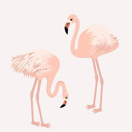 the pair: Pair of flamingos Illustration