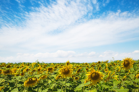 field of blooming sunflowers at sunset.Field of sunflower background with copy space. Archivio Fotografico