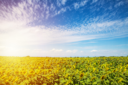 Sunflower fields in warm evening light. Field of sunflower background with copy space. Archivio Fotografico - 96724798