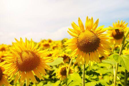 Sunflowers on a  sunny sunflower field.