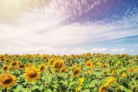 Landscape of sunflower field