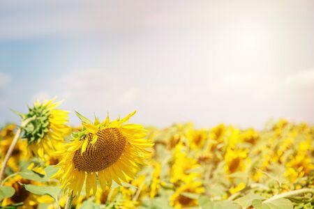 Beautiful sunflower on a  sunny sunflower field.