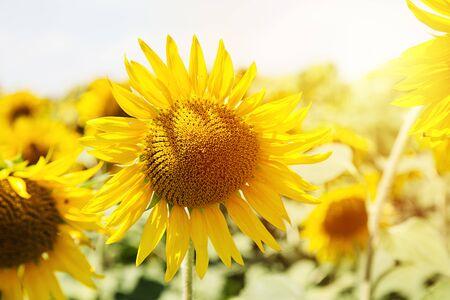 Beautiful sunflower on a sunflower field at sunset. Archivio Fotografico