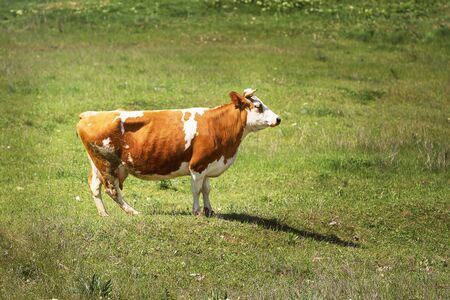 Heifer grazing in a green pasture on a beautiful sunny day Archivio Fotografico - 127506483
