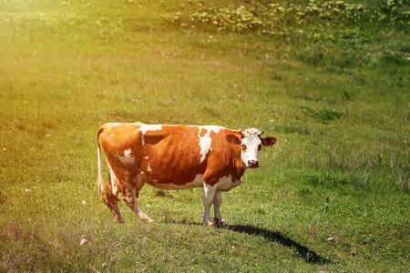 Heifer grazing in a green pasture on a beautiful sunny day Archivio Fotografico - 127506490