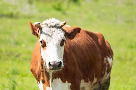 Heifer grazing in a green pasture on a beautiful sunny day Archivio Fotografico - 127506815