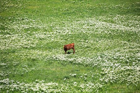 Heifer grazing in a green pasture on a beautiful sunny day Archivio Fotografico - 127506820