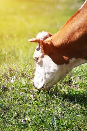 Heifer grazing in a green pasture on a beautiful sunny day Archivio Fotografico - 127506822