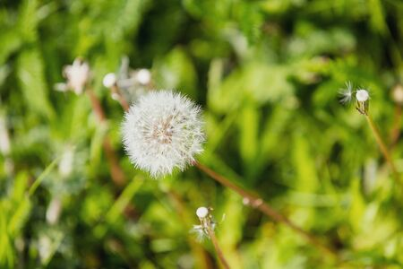 White fluffy dandelion, natural green blurred background, blurred and defocused effect spring concept for design, selective focus. Archivio Fotografico - 127506868