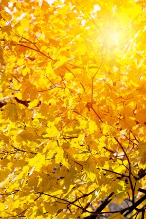 Background of autumn yellow leaves. Fall backdrop with swinging bright yellow, red and orange tree leaves closeup. Sun flare. Archivio Fotografico - 127506864