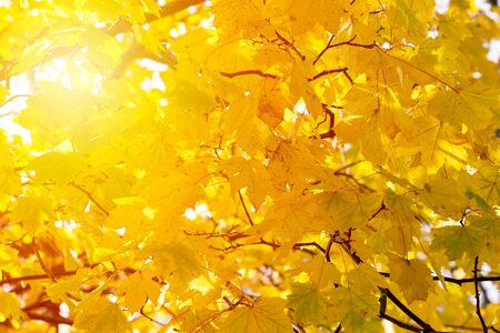 Background of autumn yellow leaves. Fall backdrop with swinging bright yellow, red and orange tree leaves closeup. Sun flare. Archivio Fotografico - 127506873