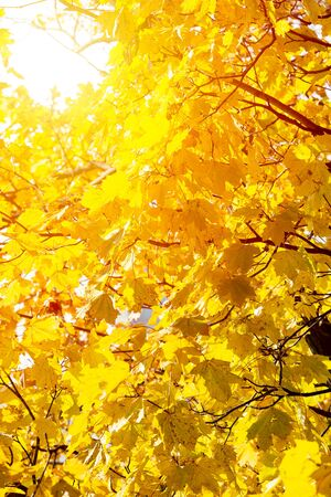 Background of autumn yellow leaves. Fall backdrop with swinging bright yellow, red and orange tree leaves closeup. Sun flare. Archivio Fotografico - 127506872