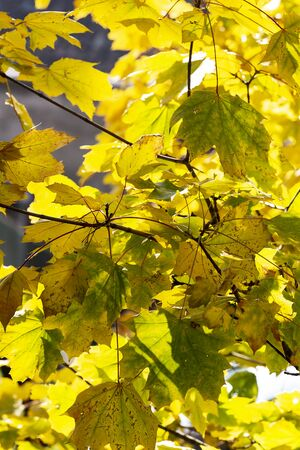 Background of autumn yellow leaves. Fall backdrop with swinging bright yellow, red and orange tree leaves closeup. Sun flare. Archivio Fotografico - 127506977