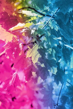 Autumn background with leaves painted in neon trend colour in minimal style., close-up. Copy space, fall vacation concept.