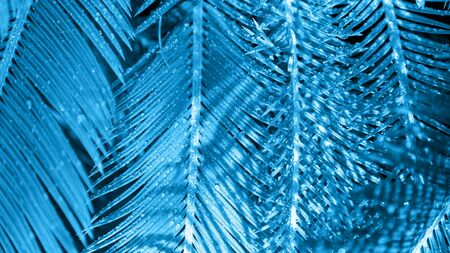 Close-up of palm leaves painted in blue light with shadows in minimal style. Copy space, vacation concept.