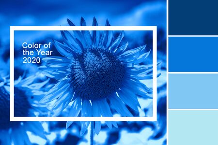 Sunflowerstexture toned in classic blue color and palette of colors