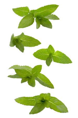 Flying fresh herb. Mint leaves  on white  on white color background    as package design element and advertising. Full depth  field.