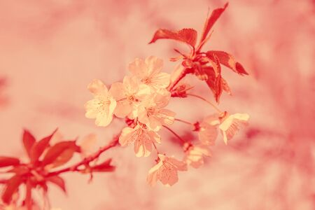 Colored pink cheery blossom in spring as a background. Soft focus banner with copy space for text.