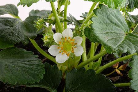strawberry plant with white flower in garden