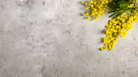 Flat lay banner with branch of yellow mimosa flower