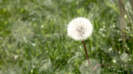 Dandelion in a field with sun rays