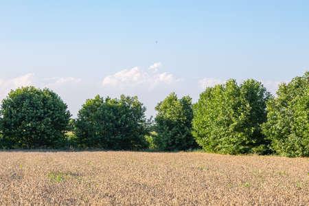 A field of ripe wheat with sun rays Archivio Fotografico