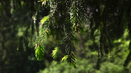 Green fir branch on blurred background in a natural environment Archivio Fotografico