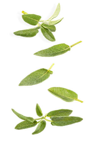 Flying fresh leaves and twigs of sage on white background