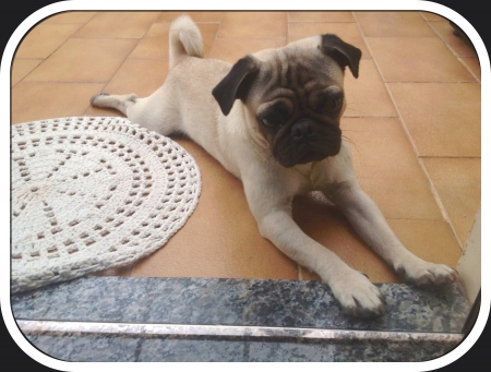 otganimalpets01: pug on the floor beside carpet